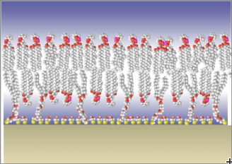 Cross-section of a tethered bilayer membrane